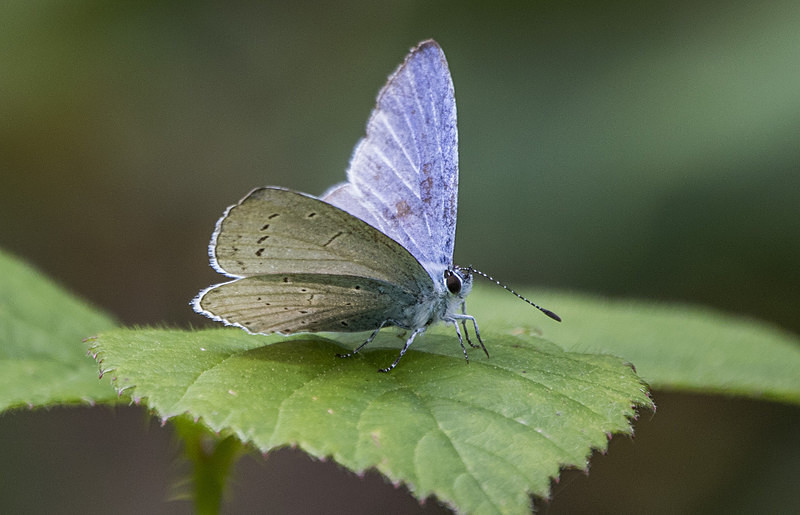 Holly Blue - Butterflies
