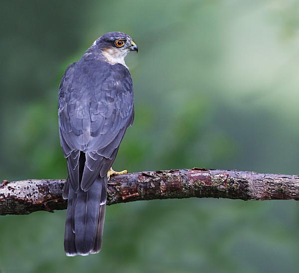 Sparrowhawk - Middlewood Nature Reserve
