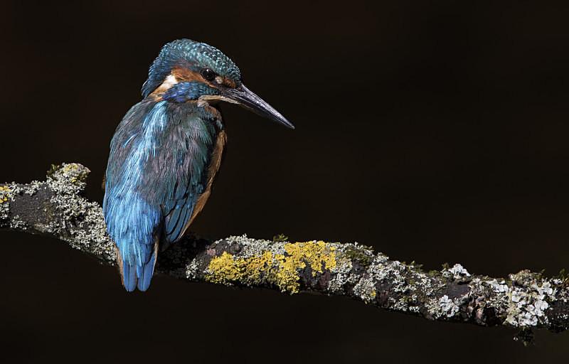 Male Kinghfisher - Kingfishers