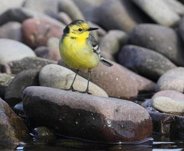 - Citrine Wagtail