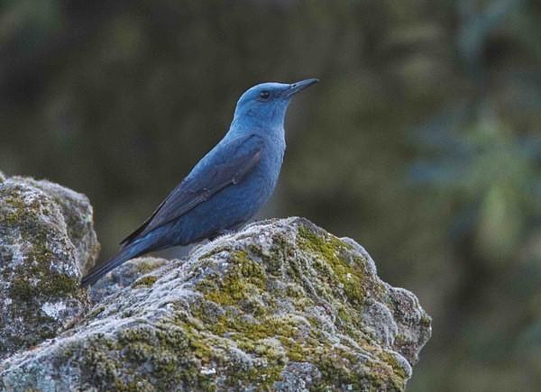 Blue Rock Thrush - Extremadura, Spain