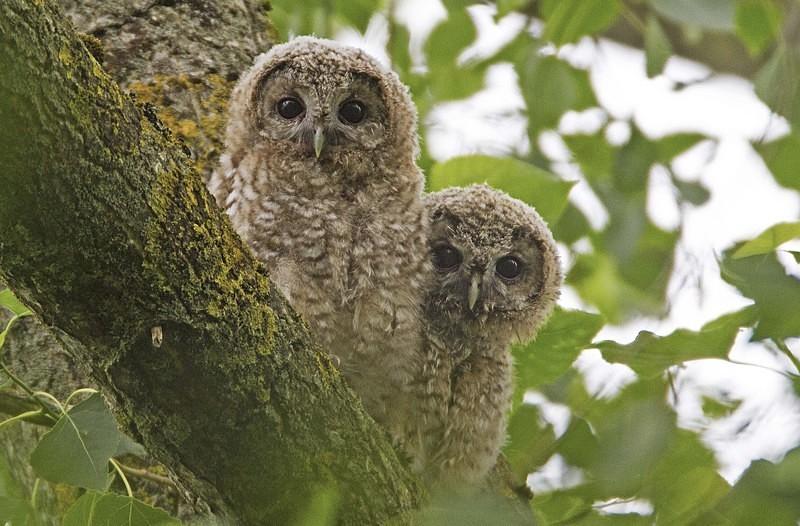 No1 + No2 - Tawny Owls