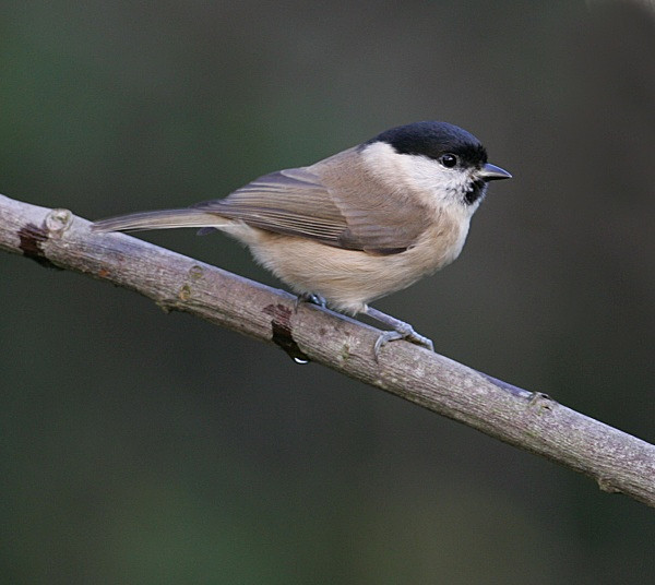 Marsh Tit - Middlewood Nature Reserve