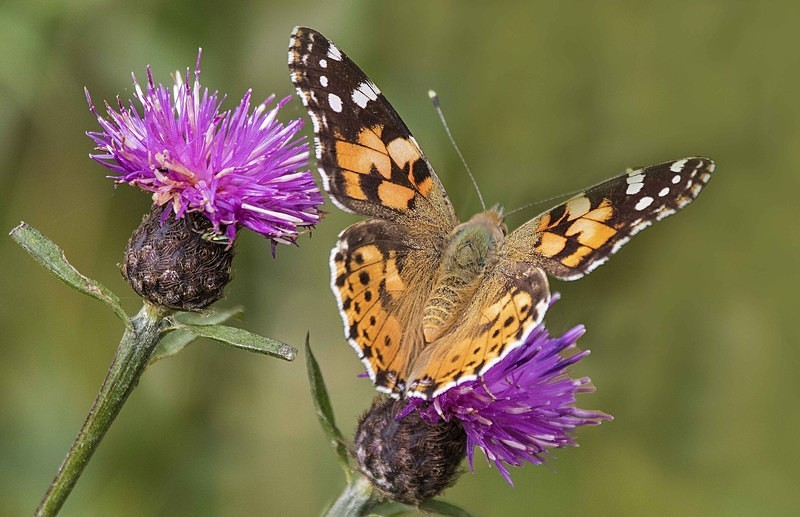 Painted Lady - Butterflies