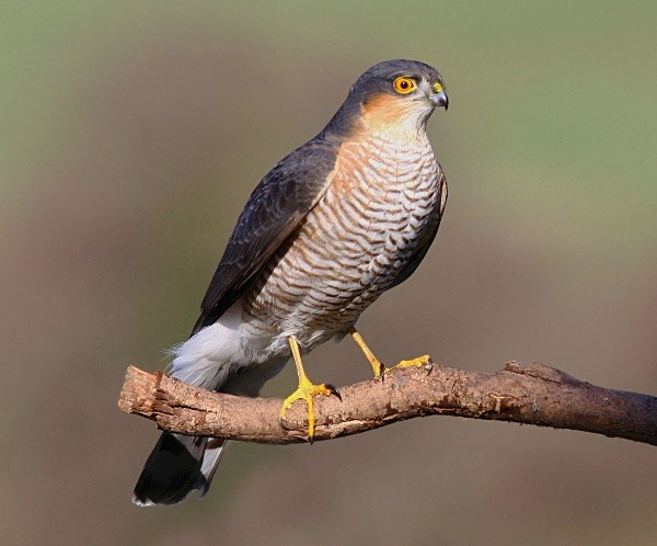 Sparrowhawk - Middlewood Nature Reserve