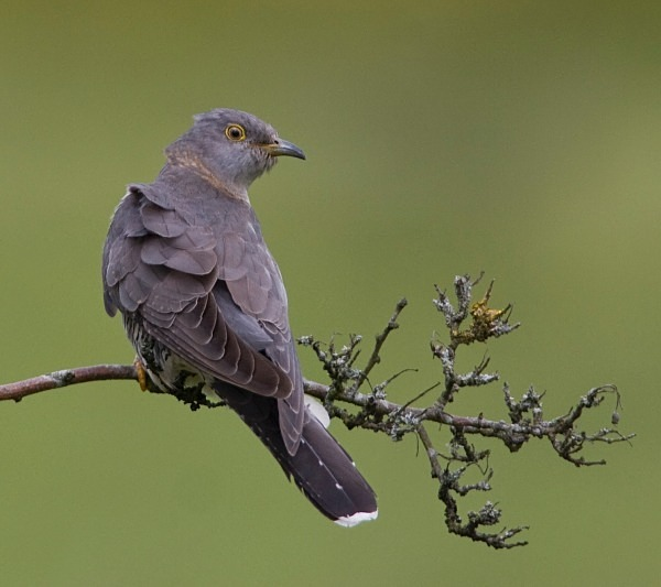 Female Cuckoo - Cuckoos