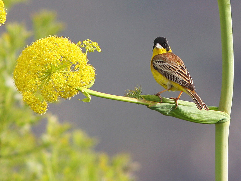 Black Headed Bunting - Miscellaneous
