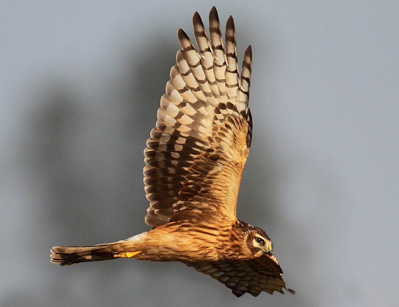 Female Hen Harrier - Miscellaneous