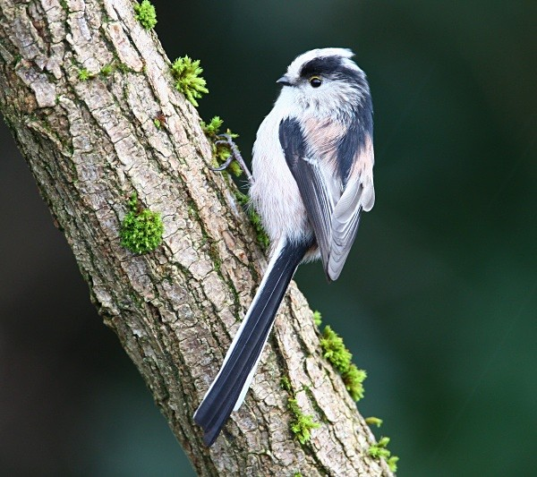 Long Tailed Tit - Middlewood Nature Reserve