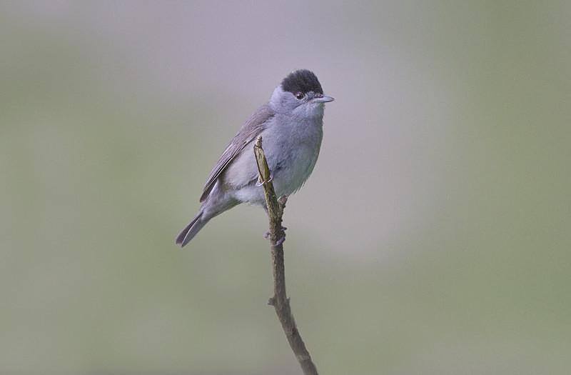 Blackcap - Spring birds around the Brecon Beacons