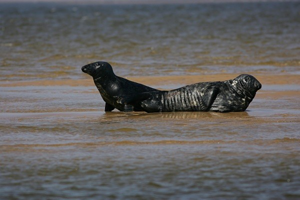 Atlantic Grey Seals on the North Norfolk Coast - From around the UK