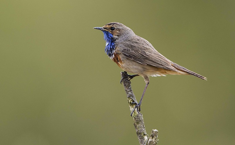 Male Bluethroat - Netherlands 2016