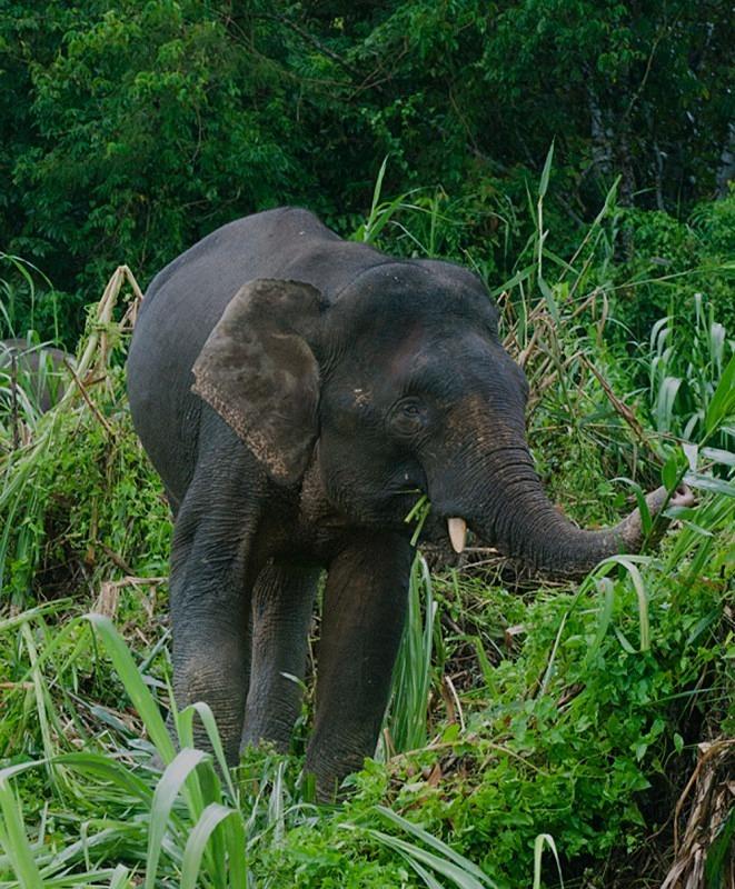 Endangered Pygmy Elephant, Kinabantangan, Borneo - The Wild Side