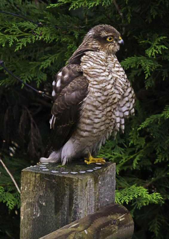 Sparrowhawk with an itch - The Wild Side