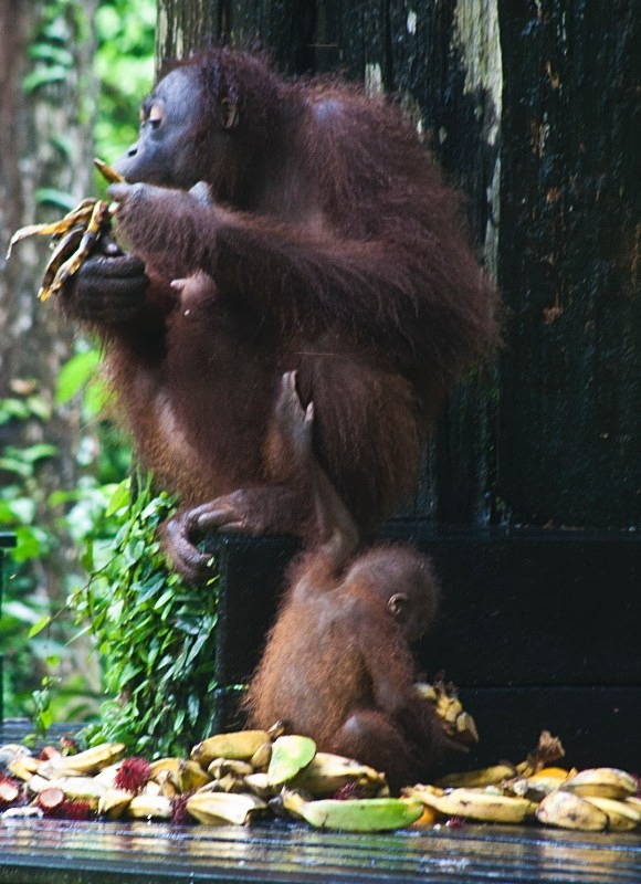 Orangs...breakfast - Borneo