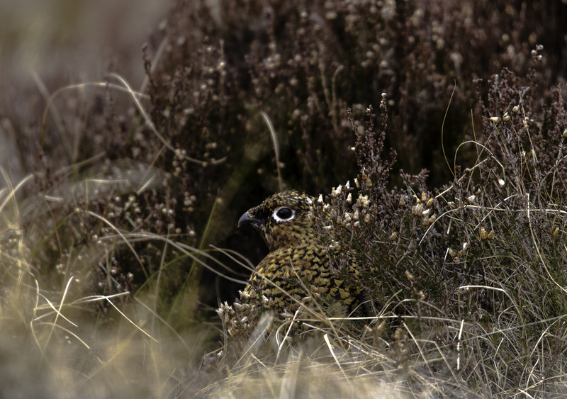 You can't see me:  Mrs Grouse - The Wild Side