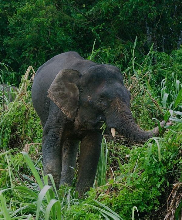 Pygmy Elephant, Kinabatangan River, Sabah - Borneo