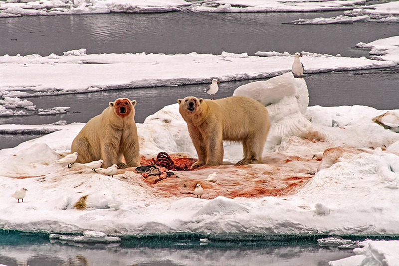 Seal for lunch - The Arctic