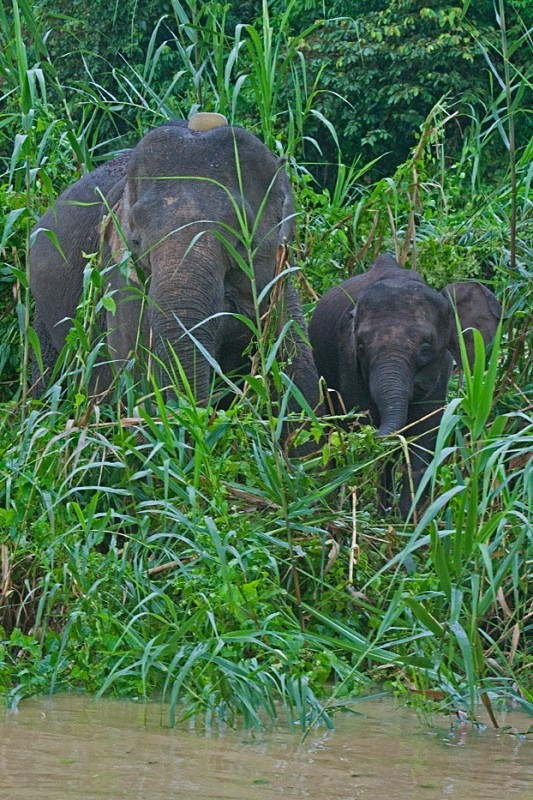 Out of the long grass - Borneo