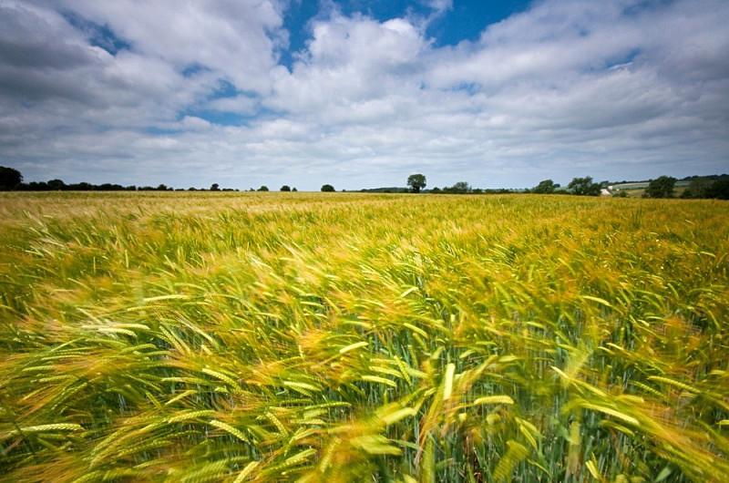 Shaftsbury Corn Field
