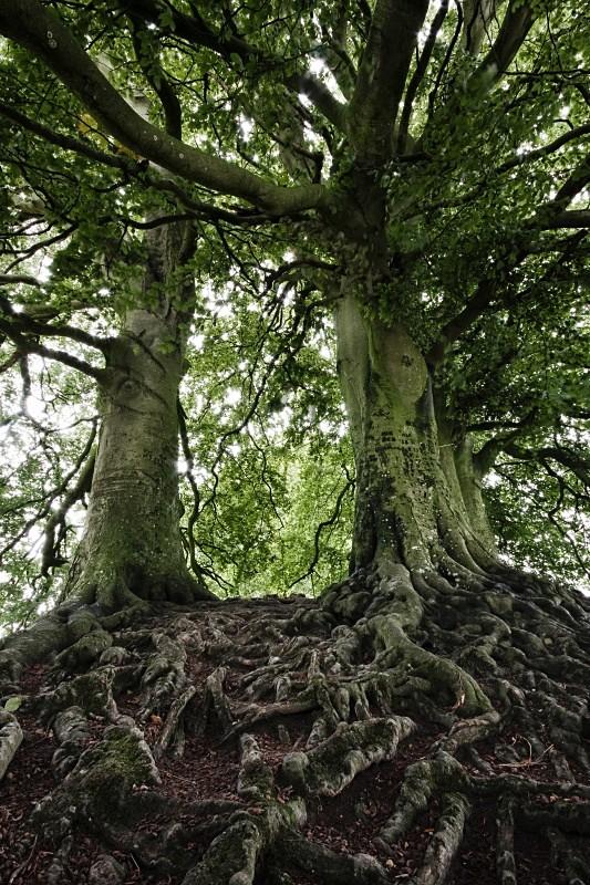 Sacred Trees I, Avebury - The Memory of Trees