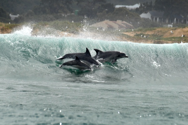 Photo of dolphins surfing in South Africa