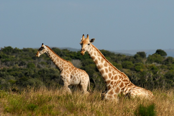 photo of giraffe South Africa