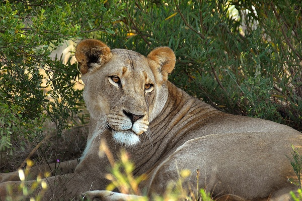 Photo of lion in South Africa