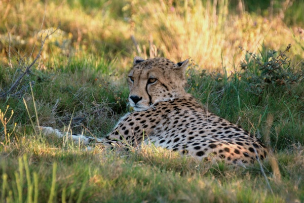 Photo of a cheetah in South Africa