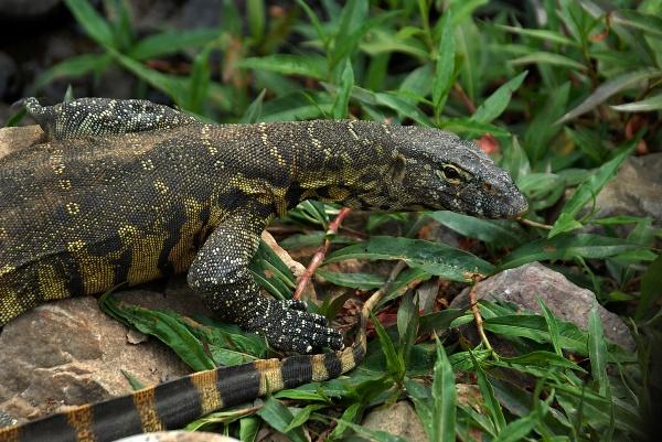 Lizard south africa photo