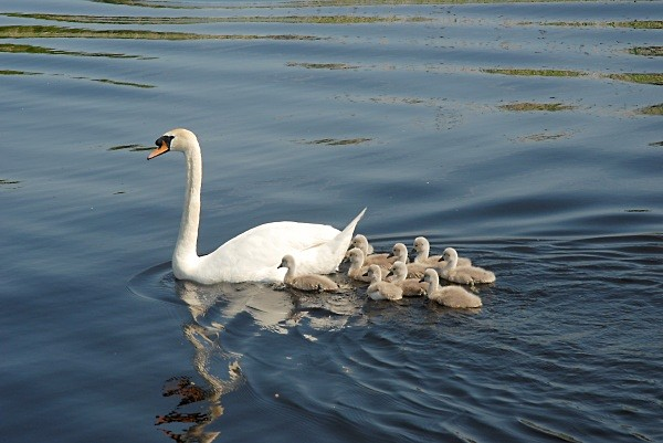 Swan family - Landscapes
