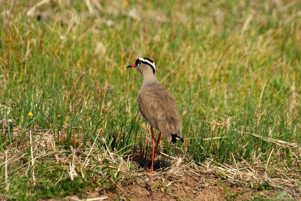 Crowned plover south africa