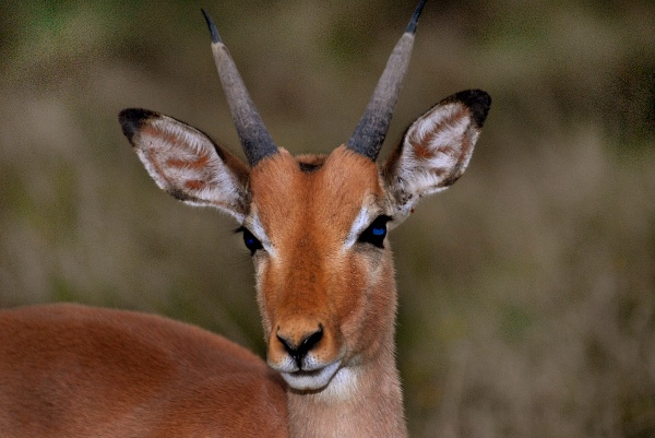 Photo of impala in South Africa