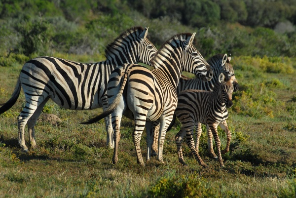 Photo of Zebra in South Africa
