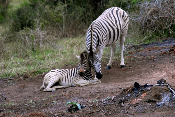 Photo of Zebra in South Africa