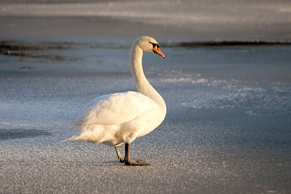iced swan01 - Landscapes