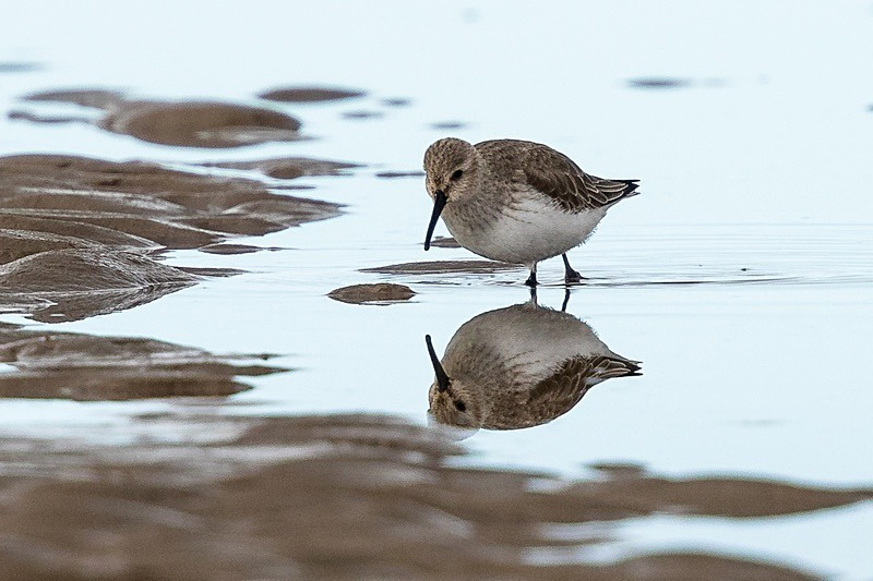 180307-Wirral0064 - Dunlin
