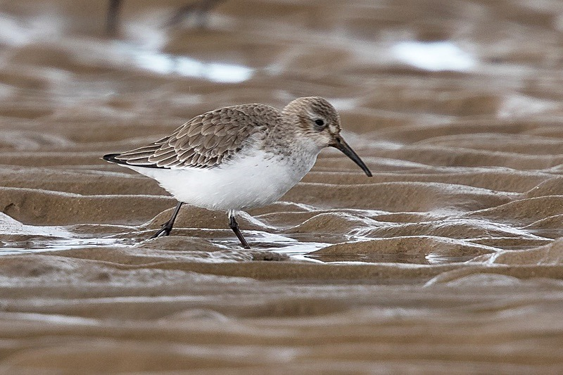 180307-Wirral0105 - Dunlin