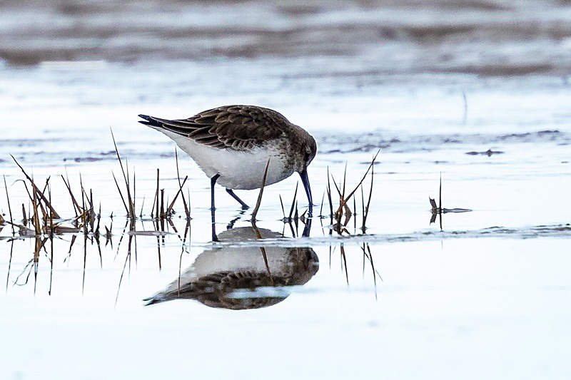 180307-Wirral0061 - Dunlin