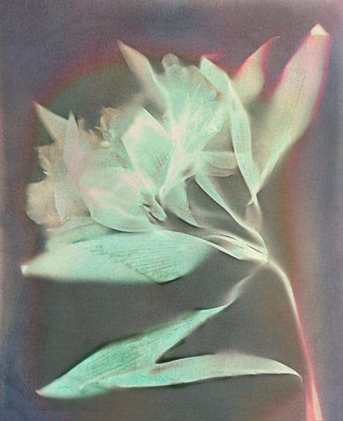 Alstromeria - Ghost Flowers