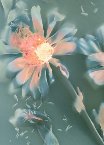 Chrysanthemum - Ghost Flowers