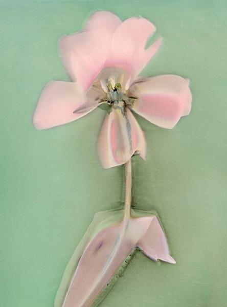 Tulip - Ghost Flowers