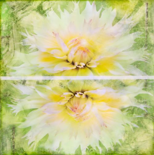 Dahlia - Veiled Flowers