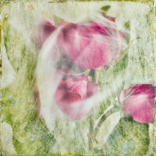 Three Roses - Veiled Flowers