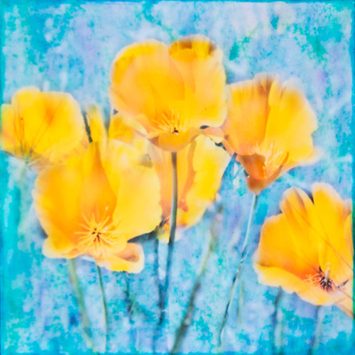 Poppies - Veiled Flowers
