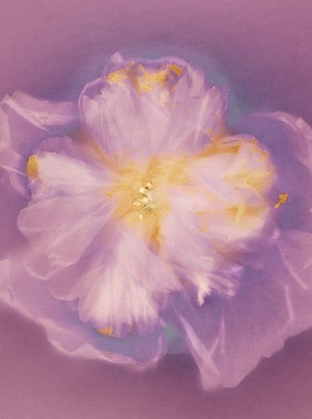 Hollyhock - Ghost Flowers