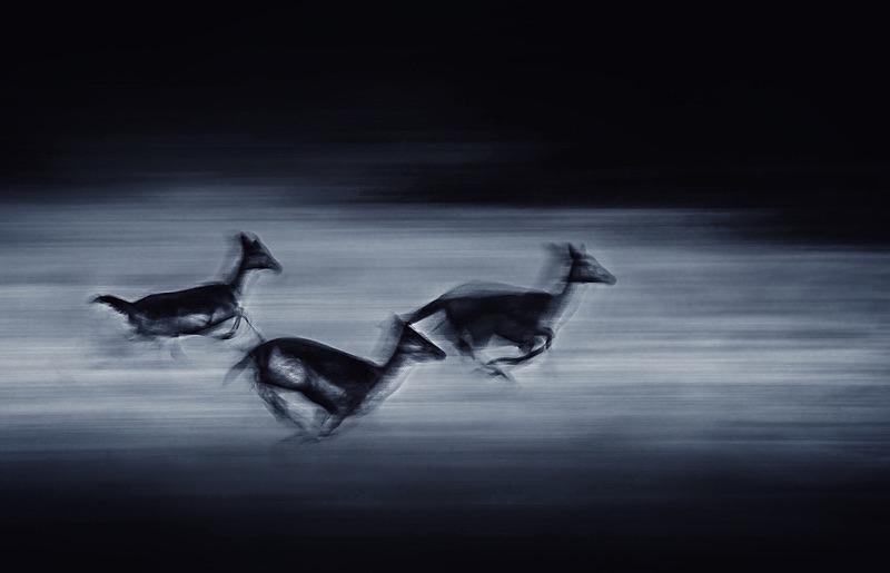 Fallow deer - Portfolio