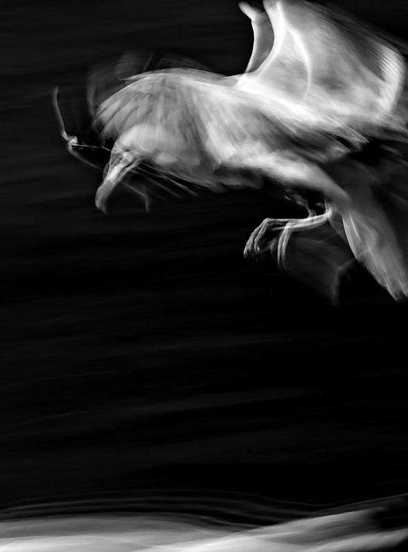 Herring gull - Portfolio