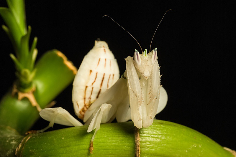Orchid Mantis - Macro day with Chameleon Photography