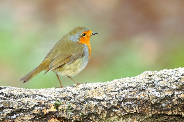 robin on a frosty log